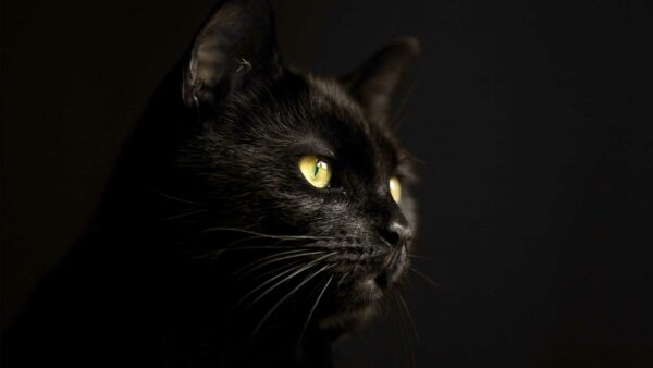 Black cats – why are they considered bad luck?