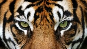 Ten tiger facts you never knew you wanted to know
